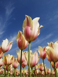 Pink tulips in a garden, Indira Gandhi Tulip Garden, Srinagar, Jammu And Kashmir, India Photographic Print