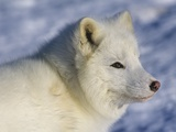 Artic Fox (Alopex Lagopus) Massey, Ontario, Canada Photographie par Don Johnston