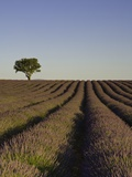 Lavender field Photographic Print by Doug Pearson