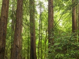 Redwoods in Muir Woods National Park California USA Photographic Print