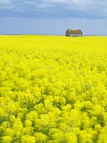 Barn and Canola Field, Southern Saskatchewan, Canada Photographic Print by Sam Chrysanthou
