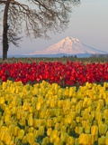 Tulip field and Mount Hood, Woodburn Oregon Photographie par Craig Tuttle