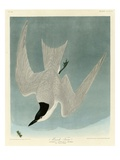 Marsh Tern Reproduction procédé giclée par John James Audubon