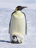 Emperor penguins Fotografisk tryk af Frank Krahmer