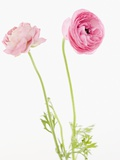 Pink flowers Photographic Print by Jamie Grill