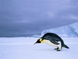 Emperor Penguin (Aptenodytes Forsteri) at the Edge of the Shorefast Ice, Drescher Inlet, 72 Degrees Photographic Print by Wayne Lynch
