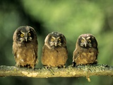 Young Boreal Owl Chicks (Aegolius Funereus), Northern Alberta, Canada. Photographic Print by Wayne Lynch