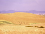 Rolling Wheat Fields Photographic Print by Craig Tuttle