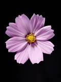 Close-up of a cosmos Photographic Print by Sung-Il Kim