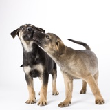Puppies licking one another Photographic Print by Michael Kloth