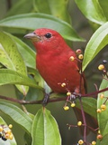 A Male Summer Tanager (Piranga Rubra) in Costa Rica. Photographic Print by Glenn Bartley