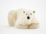 Polar Bear on ice in Hudson Bay Photographic Print by Mike Grandmaison