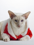 Siamese cat wearing Santa Claus costume Photographic Print by Barry Lewis