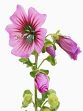 Pink Tree mallow Photographic Print by Frank Krahmer