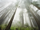 Redwood trees near Damnation Creek Trail Photographic Print by William Manning