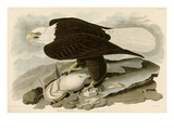 White Headed Eagle Premium Giclee Print by John James Audubon