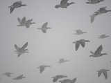 Flock of barnacle geese flying through heavy fog Photographic Print by Andrew Parkinson