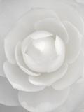 White camellia Fotografisk tryk af Clive Nichols