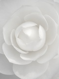 White camellia Photographic Print by Clive Nichols