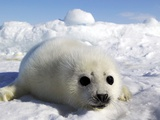 Harp Seal on the Ice in the Gulf of St Lawrence, Maritime Provinces, Canada Stampa fotografica di Rolf Hicker