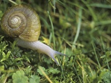 Snail in Grass, British Columbia, Canada. Photographic Print by Chris Cheadle