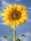 A Sunflower Against Blue Sky Photographic Print by Ottmar Diez