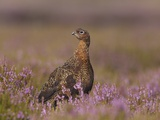 Red grouse standing on alert in moorland Photographic Print by Andrew Parkinson