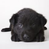 Black Labrador Puppy Photographic Print by Michael Kloth
