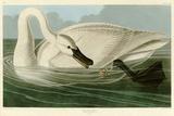 Cisne trompetero Lámina giclée por John James Audubon