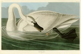 Trumpeter Swan Giclee Print by John James Audubon