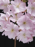 Pink Cherry Blossom, close-up Photographic Print by Claudia Rehm