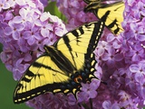A Canadian Tiger Swallowtail Butterfly (Papilio Canadensis) in the Maritimes, Newfoundland and Labr Photographic Print by Barrett &amp; MacKay 