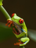 Red-Eyed Tree Frog in Costa Rica Lmina fotogrfica por Paul Souders