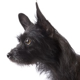 Black toy terrier Photographic Print by Michael Kloth