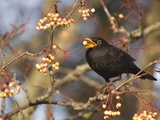 Eurasian blackbird foraging berries from tree Photographie par Andrew Parkinson