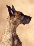 Profile of a Great Dane Photographic Print by Don Mason