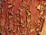 Arbutus Tree, Bark Pattern, British Columbia, Canada. Photographic Print by Chris Cheadle