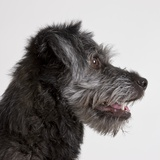 Wolfhound puppy Photographic Print by Michael Kloth