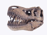 Tyrannosaurus rex skull Photographie par Walter Geiersperger