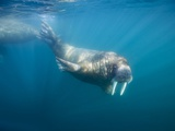 Walrus Swimming Underwater Near Tiholmane Island Photographic Print by Paul Souders
