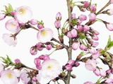 Cherry blossoms Photographic Print by Frank Krahmer