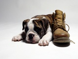 Portrait of English bulldog puppy with boot Photographic Print by Lew Long