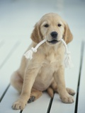 Golden Retriever with Rope in Mouth Photographic Print by Akira Matoba