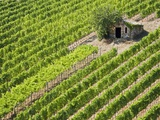 Italy, Tuscany, Vineyard with cabin Photographie par Fotofeeling