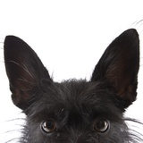 Scottish terrier Photographic Print by Michael Kloth