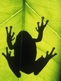 Silhouette of an Eastern Tree Frog (hyla Versicolor) Clinging to a Leaf, Walden, Ontario, Canada Valokuvavedos tekijn Don Johnston