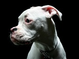 Close-up of a white Boxer puppy Photographic Print by Donald Bowers