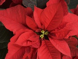 Closeup of poinsettia flower Photographic Print