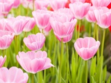Pink tulips Photographic Print by Frank Lukasseck