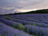 Lavender Field at Sunset Photographic Print by Roland Gerth